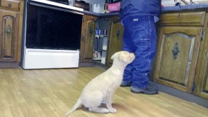 Picture of small Chesapeake puppy sitting behind a man who is working at a kitchen counter. The dog is giving all his attention to the man.