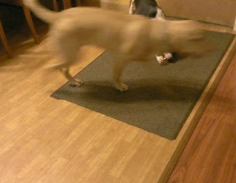 Ginger is chewing on Charlie's bone, Charlie  is a just a blur as he runs by with Ginger's bone in his mouth.