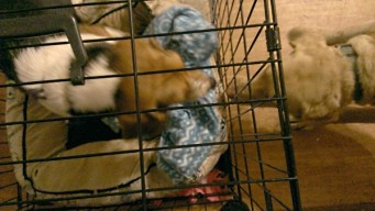 Ginger is in her crate, Charlie is outside, trying to get his nose in to get Ginger's bone.
