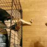 Ginger has one leg clear out of her crate, trying to reach Charlie's bone.
