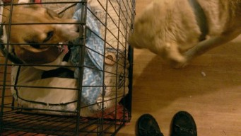 Ginger is in her crate with her bone, Charlie is looking at the bone, probably planning his next move.