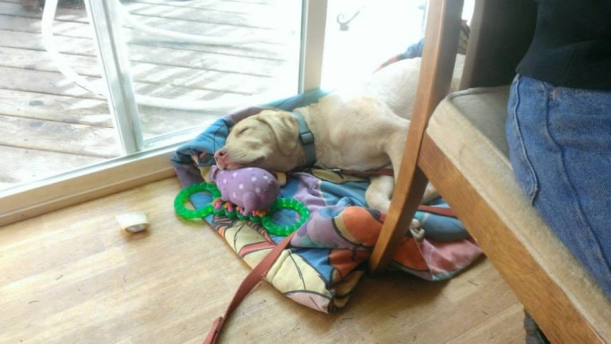 Charlie is napping with his head on a pile of squeaky toys, bones, and rubber chewies