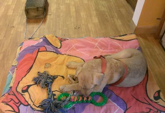 Picture of Charlie pouting on his blanket while tethered to the cinder block.