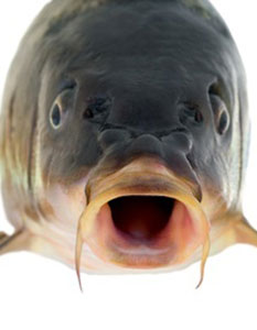Close up of carp face.